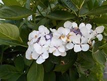 η μακρο φωτογραφία πετάλων λουλουδιών pistil αυξήθηκε stamens έξοχο λευκό Στοκ Εικόνες