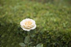 η μακρο φωτογραφία πετάλων λουλουδιών pistil αυξήθηκε stamens έξοχο λευκό Στοκ Φωτογραφία