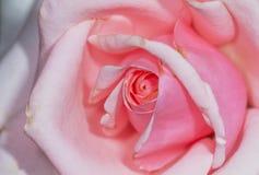 η μακρο φωτογραφία πετάλων λουλουδιών pistil αυξήθηκε stamens έξοχο λευκό Στοκ εικόνα με δικαίωμα ελεύθερης χρήσης