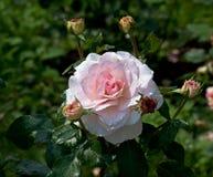 η μακρο φωτογραφία πετάλων λουλουδιών pistil αυξήθηκε stamens έξοχο λευκό Στοκ φωτογραφία με δικαίωμα ελεύθερης χρήσης