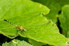 Η μακρο φωτογραφία της λιβελλούλης στο φύλλο, λιβελλούλη είναι έντομο Στοκ Φωτογραφίες