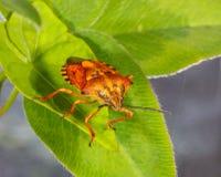 Η μακρο φωτογραφία του ζωύφιου εντόμων βρωμαά Στοκ εικόνες με δικαίωμα ελεύθερης χρήσης
