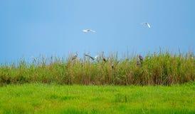 Η μαλακή εικόνα θαμπάδων του άγριου βιότοπου πουλιών στον πράσινο τομέα χλόης με το μπλε ουρανό ως υπόβαθρο και κάποιο πουλί πετά στοκ εικόνες με δικαίωμα ελεύθερης χρήσης