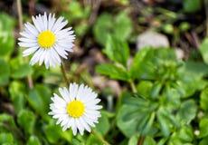Η μαλακή εστίαση της άσπρης oxeye δύο μαργαρίτας ανθίζει στη φύση - Leucanthemum vulgare, Asteraceae, Asterales Στοκ Εικόνες