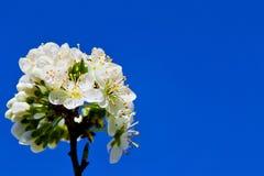 Η μαλακή εστίαση του άσπρου άνθους κερασιών ανθίζει με το μπλε ουρανό - Prunus, Amygdaloideae, Rosaceae Στοκ εικόνα με δικαίωμα ελεύθερης χρήσης
