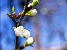 Η μαλακή εστίαση των άσπρων λουλουδιών δαμάσκηνων πράσινων δαμάσκηνων ανθίζει με το μουτζουρωμένο υπόβαθρο - italica domestica pr Στοκ φωτογραφία με δικαίωμα ελεύθερης χρήσης