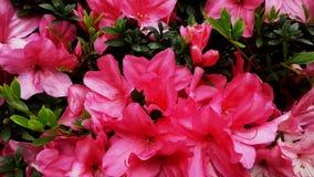 Η μαλακότητα των όμορφων μεγάλων ρόδινων λουλουδιών στοκ φωτογραφίες με δικαίωμα ελεύθερης χρήσης