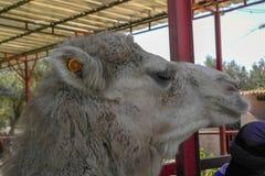 Η μαροκινή καμήλα στοκ εικόνες με δικαίωμα ελεύθερης χρήσης