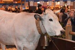 η μασκότ αγελάδων εμφανίζει Στοκ Εικόνες