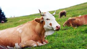 Η μασώντας αγελάδα τρώει τη χλόη από το λιβάδι Λιβάδι στις ιουλιανές Άλπεις, Σλοβενία Άποψη κινηματογραφήσεων σε πρώτο πλάνο σχετ φιλμ μικρού μήκους