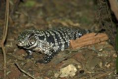η μαύρη Βραζιλία κάνει foz το λευκό tegu iguacu στοκ εικόνα με δικαίωμα ελεύθερης χρήσης