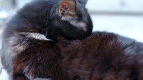 Η μαύρη βρώμικη γάτα γλείφει το πόδι της και καθαρίζεται απόθεμα βίντεο