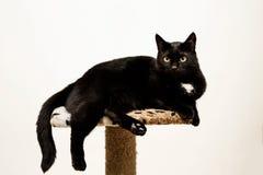 Η μαύρη γάτα βρίσκεται σε μια θέση γατών ` s, άσπρο υπόβαθρο Στοκ Εικόνες