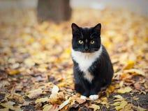 Η μαύρη γάτα με έναν υπαλληλικό κάθεται στα κίτρινα φύλλα Στοκ Εικόνες