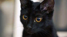 Η μαύρη γάτα με τα κίτρινα μάτια συνδετήρας Μαύρη γάτα με τα κόκκινα μάτια στο σπίτι Στοκ Φωτογραφίες
