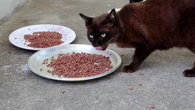Η μαύρη γάτα τρώει τα τρόφιμα κατοικίδιων ζώων απόθεμα βίντεο