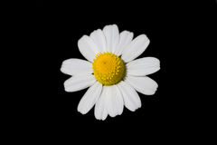η μαύρη μαργαρίτα ανασκόπησ&et Στοκ φωτογραφίες με δικαίωμα ελεύθερης χρήσης