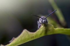 Η μαύρη μύγα στρατιωτών σε ένα φύλλο με το τρομακτικό πρόσωπο, που λαμβάνεται στρέφεται μαλακά και θόλωσε του σκοτεινού υποβάθρου Στοκ εικόνες με δικαίωμα ελεύθερης χρήσης