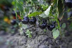 Η μαύρη ντομάτα Στοκ Εικόνες
