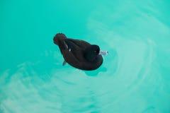 Η μαύρη πάπια κολυμπά ειρηνικά στο pukaki αγροτικών λιμνών σολομών στο νότιο νησί Νέα Ζηλανδία Στοκ Εικόνες