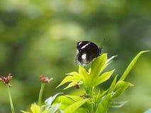 Η μαύρη πεταλούδα που πετά στα πράσινα φύλλα ανθίζει το ζωικό έντομο φύσης στοκ φωτογραφίες με δικαίωμα ελεύθερης χρήσης