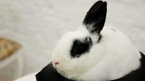 η μαύρη πλευρά κουνελιών ανασκόπησης κάθεται το λευκό όψης απόθεμα βίντεο