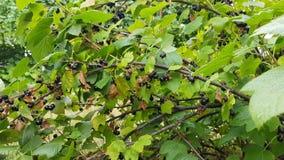 Η μαύρη σταφίδα αυξάνεται σε έναν θάμνο μεταξύ του πολύβλαστου πράσινου φυλλώματος απόθεμα βίντεο