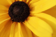 η μαύρη eyed μακρο καλυμμένη Susan κίτρινη Στοκ Φωτογραφίες