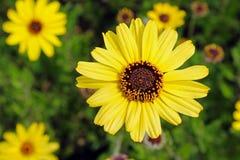 Η μαύρη Eyed Susan, Λα Χόγια, Καλιφόρνια Στοκ εικόνα με δικαίωμα ελεύθερης χρήσης