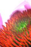 η μαύρη eyed Susan Στοκ εικόνα με δικαίωμα ελεύθερης χρήσης