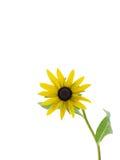 η μαύρη eyed Susan Στοκ εικόνες με δικαίωμα ελεύθερης χρήσης