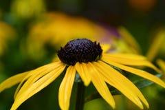η μαύρη eyed Susan Στοκ Φωτογραφία