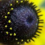 η μαύρη eyed Susan Στοκ Εικόνες