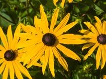 Η μαύρη Eyed Susan, hirta Rudbeckia, κίτρινη κινηματογράφηση σε πρώτο πλάνο λουλουδιών, εκλεκτική εστίαση, ρηχό DOF Στοκ Φωτογραφίες