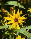 Η μαύρη Eyed Susan, hirta Rudbeckia, κίτρινη κινηματογράφηση σε πρώτο πλάνο λουλουδιών, εκλεκτική εστίαση, ρηχό DOF Στοκ Εικόνα