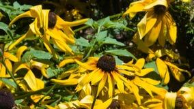 Η μαύρη Eyed Susan, hirta Rudbeckia, κίτρινη κινηματογράφηση σε πρώτο πλάνο λουλουδιών, εκλεκτική εστίαση, ρηχό DOF Στοκ φωτογραφία με δικαίωμα ελεύθερης χρήσης