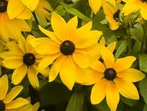Η μαύρη Eyed Susan, hirta Rudbeckia, κίτρινη κινηματογράφηση σε πρώτο πλάνο λουλουδιών, εκλεκτική εστίαση, ρηχό DOF Στοκ Εικόνες