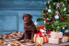 Η μαύρη retriever του Λαμπραντόρ συνεδρίαση με τα δώρα στο υπόβαθρο διακοσμήσεων Χριστουγέννων Στοκ Εικόνες