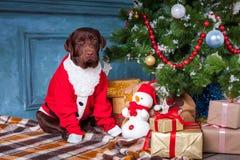 Η μαύρη retriever του Λαμπραντόρ συνεδρίαση με τα δώρα στο υπόβαθρο διακοσμήσεων Χριστουγέννων Στοκ Φωτογραφία