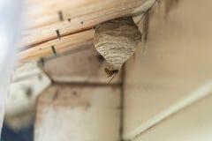 Η μαύρος-κίτρινη σφήκα χτίζει μια φωλιά σφηκών κάτω από μια ξύλινη προεξοχή στεγών στοκ φωτογραφίες