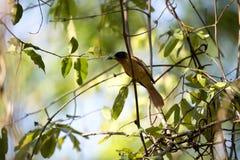 Η Μαδαγασκάρη παράδεισος-flycatcher, mutata Terpsiphone, επίασε cicada, επιφυλάξεις Tsingy, Ankarana, Μαδαγασκάρη Στοκ Εικόνες