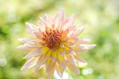 Η μαλακή εστίαση στο όμορφο λουλούδι είναι ανθίζοντας Στοκ Εικόνες