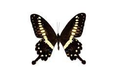 Η μεγάλη πεταλούδα με τα κίτρινα φτερά, απομονώνει στο άσπρο υπόβαθρο, lormieri papilio στοκ φωτογραφίες
