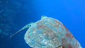 Η μεγάλη χελώνα κολυμπά αργά φιλμ μικρού μήκους