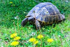 Η μεγάλη χελώνα τρώει την κινηματογράφηση σε πρώτο πλάνο πικραλίδων Στοκ φωτογραφίες με δικαίωμα ελεύθερης χρήσης