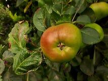 Η μεγάλη ώριμη Apple σε ένα δέντρο Στοκ φωτογραφίες με δικαίωμα ελεύθερης χρήσης
