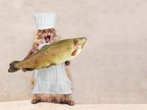 Η μεγάλη δασύτριχη γάτα είναι πολύ αστεία στάση, μάγειρας 7 Στοκ εικόνες με δικαίωμα ελεύθερης χρήσης