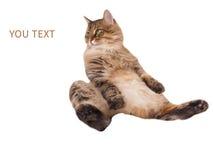Η μεγάλη δασύτριχη γάτα είναι πολύ αστεία συνεδρίαση Αριθμός 12 Στοκ Εικόνες