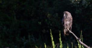 Η μεγάλη γκρίζα κουκουβάγια εσκαρφάλωσε το σκοτεινό υπόβαθρο Στοκ Εικόνες