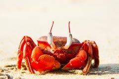 Η μεγάλη κόκκινη συνεδρίαση καβουριών στην άμμο Στοκ Φωτογραφίες